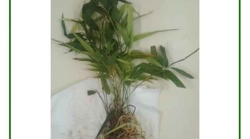 Karantina Pertanian Periksa Virus pada Bibit Bambu Ekspor